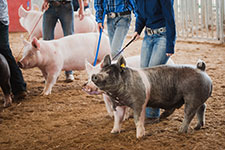 1811_swine