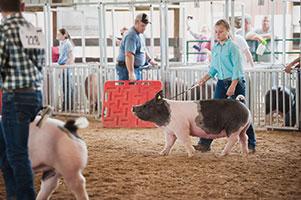 1811_swine_show 2